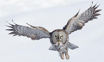 静かに飛ぶフクロウは、羽のセレーションで気流をコントロール